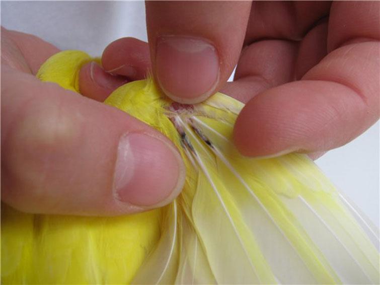 Как лечить волнистых попугаев от клеща в домашних условиях