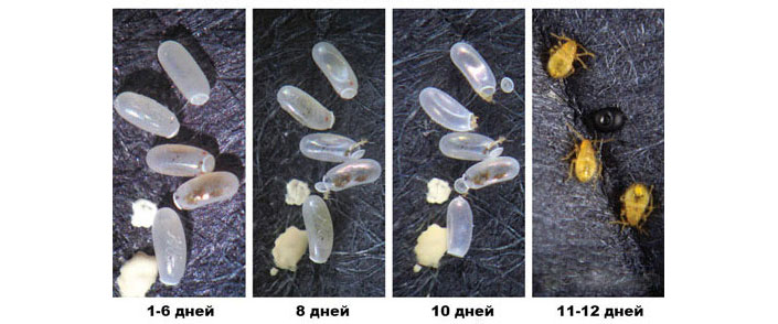 Эволюция клопа