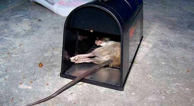 Убитая крыса