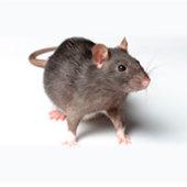 Методы борьбы с крысами: химические, механические, отпугивающие