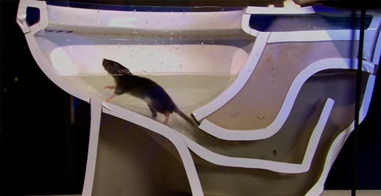 Крыса на поверхности унитаза