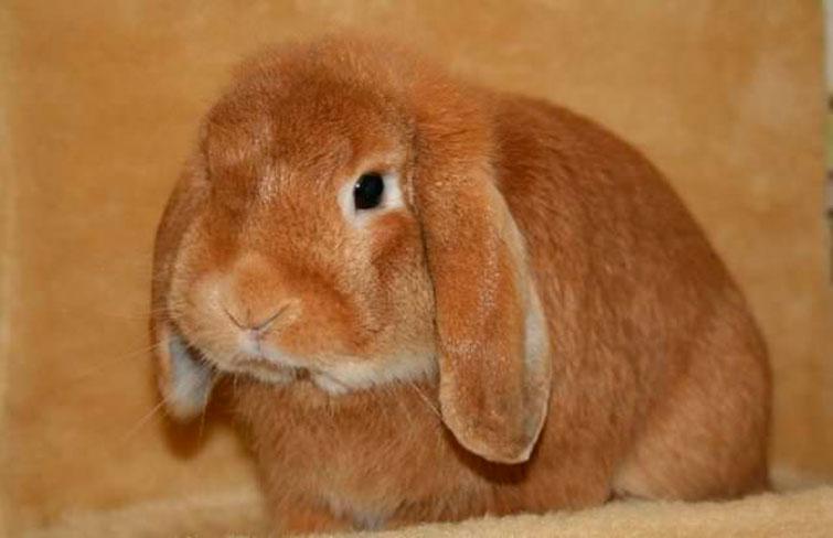 Блохи у кролика