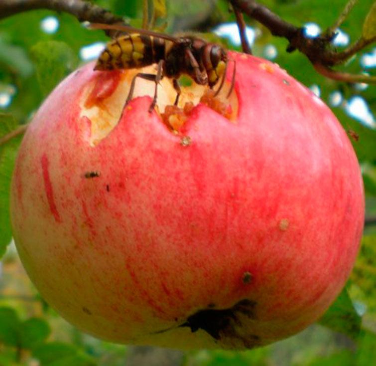 Шершень на яблоке