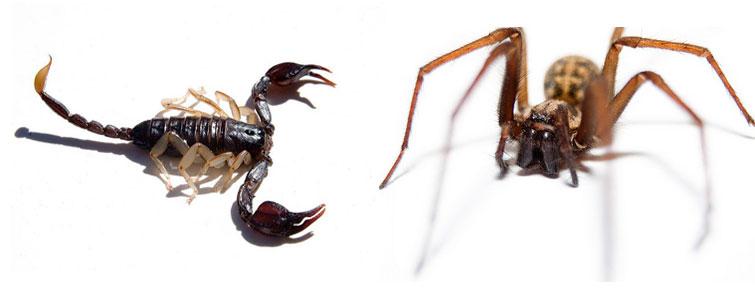 Таиландский скорпион и паук