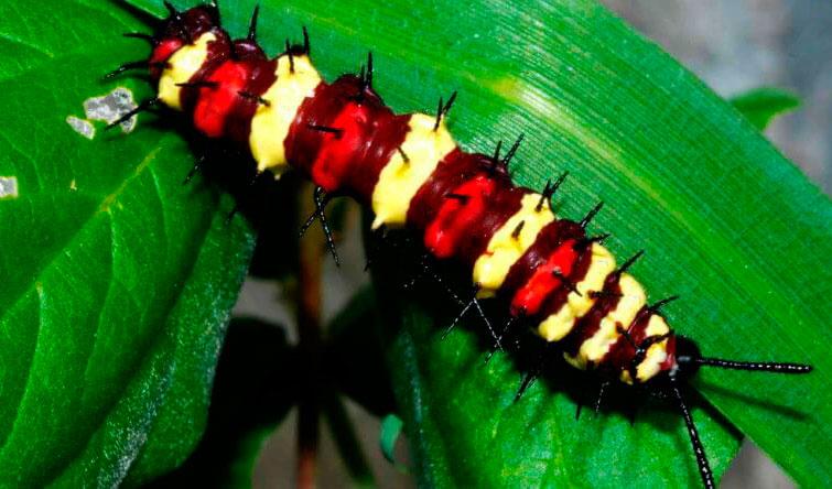 Таиландская гусеница
