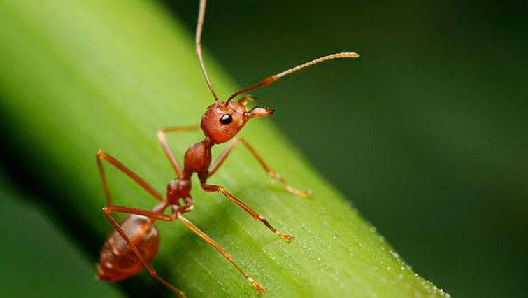 Таиландский муравей