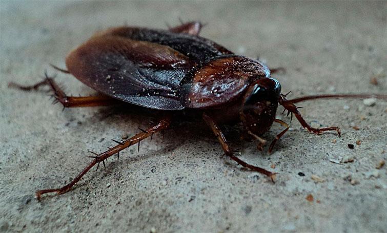 Таиландский таракан