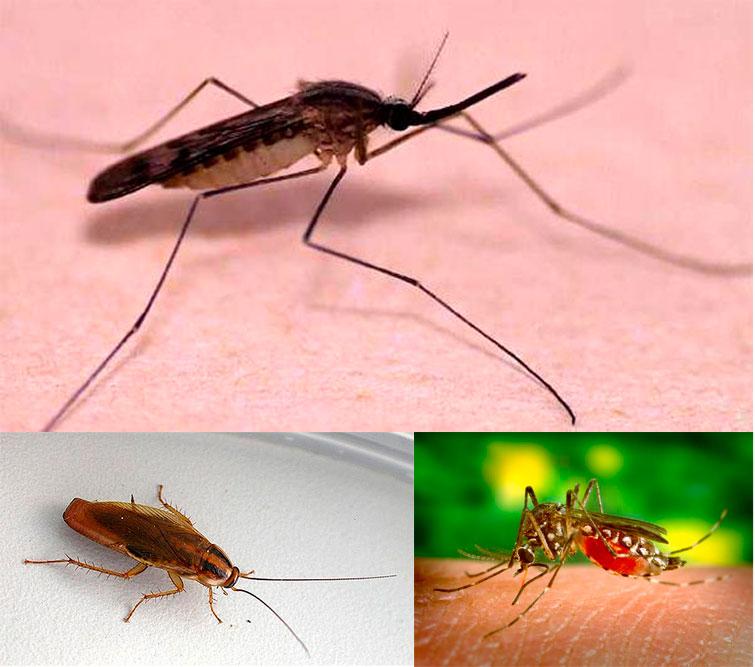 Малярийный комар(сверху), таракан (слева), москит (справа)