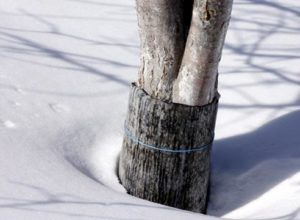 защита дерева от грызунов в снег
