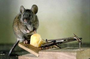 Мыша и мышеловка