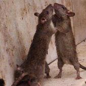 Как избавиться от грызунов в погребе и подвале
