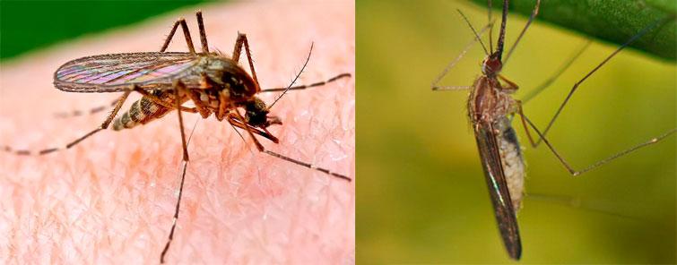 Комар и москит