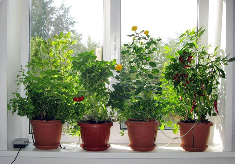 Мята, томат, базилик на подоконнике