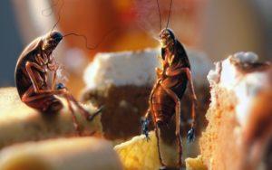 Тараканы (Стасики, Прусаки, Тарасики)