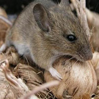 Как вывести крыс из дома народными средствами