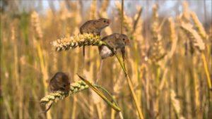 Мыши в поле
