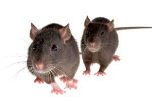 Мыши, крысы, переносчики инфекций