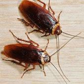 chego boyatsya tarakanyi v kvartire 3 170x170 - Тараканы домашние: как отличить самку от самца, размножение и развитие