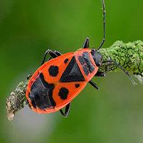 Как избавиться от жуков солдатиков в доме