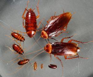 kombat protiv tarakanov 3 300x247 - Тараканы домашние: как отличить самку от самца, размножение и развитие