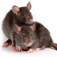 Переносчиками каких болезней являются крысы?