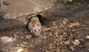 Нора крысиная