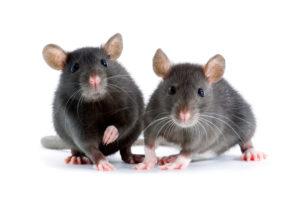 Какие болезни переносят мыши