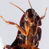 post 39291 0 05232500 1439914036 170x170 - Тараканы домашние: как отличить самку от самца, размножение и развитие