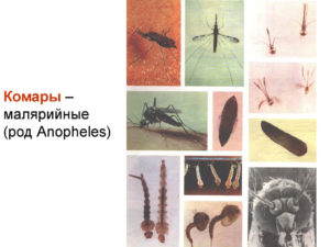 Комары малярийные (род Anopheles)
