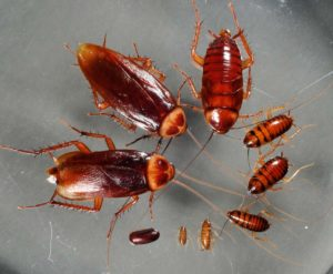Тараканы — «транспорт» для возбудителей опасных инфекций