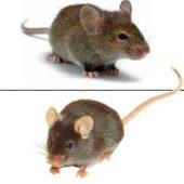 Как отличить полевую мышь от домашней, по форме головы и цвету спинки?