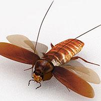 Летают ли домашние тараканы, в том числе черные и рыжие