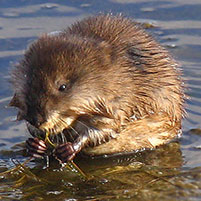 Как поймать водяную крысу
