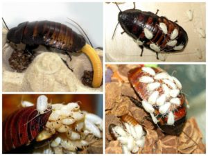 yuuie 300x225 - Тараканы домашние: как отличить самку от самца, размножение и развитие