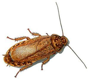 Описание взрослой особи мраморного таракана