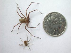 Размножение и жизненный цикл паука отшельника