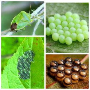 Жизненный цикл размножение лесного клопа