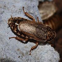Мраморные тараканы размер содержание фото разведение