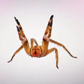 Бразильский странствующий паук – самый опасный паук в мире