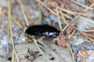 Вред от черных тараканов