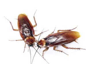 Внешний вид американского таракана