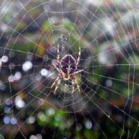 Опасное соседство — паук с крестом на спине. Паук крестовик – описание, ядовитый или нет?