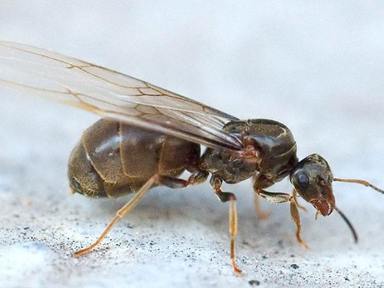 Как выглядят и откуда берутся в доме летающие муравьи - все способы борьбы с ними