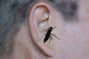 Что делать если таракан залез в ухо?