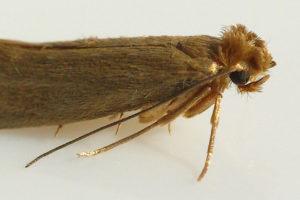 Платяная бабочка