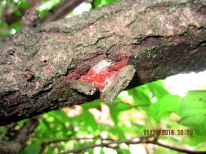 Кокон яблоневой плодоножки