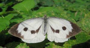 Моль Plutella maculipennis Curt