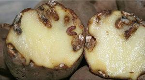 Вред от картофельной моли