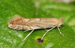 Картофельная моль (Phthorimaea operculella)