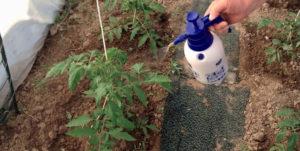 Обработка помидоров от моли